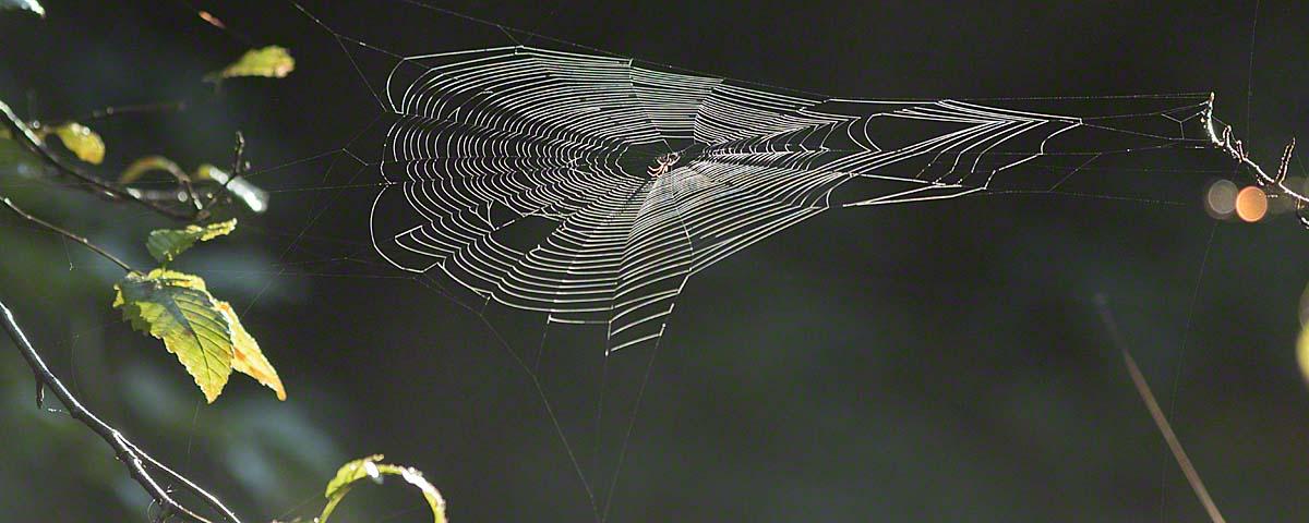 Spiderweb in Great Bear Rainforest