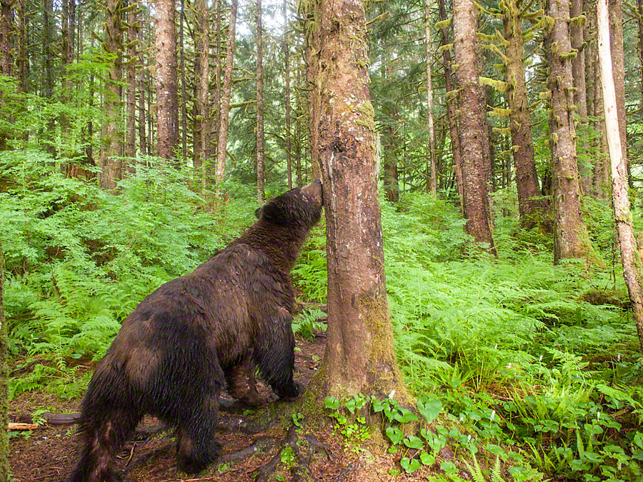 Bear caught on remote camera