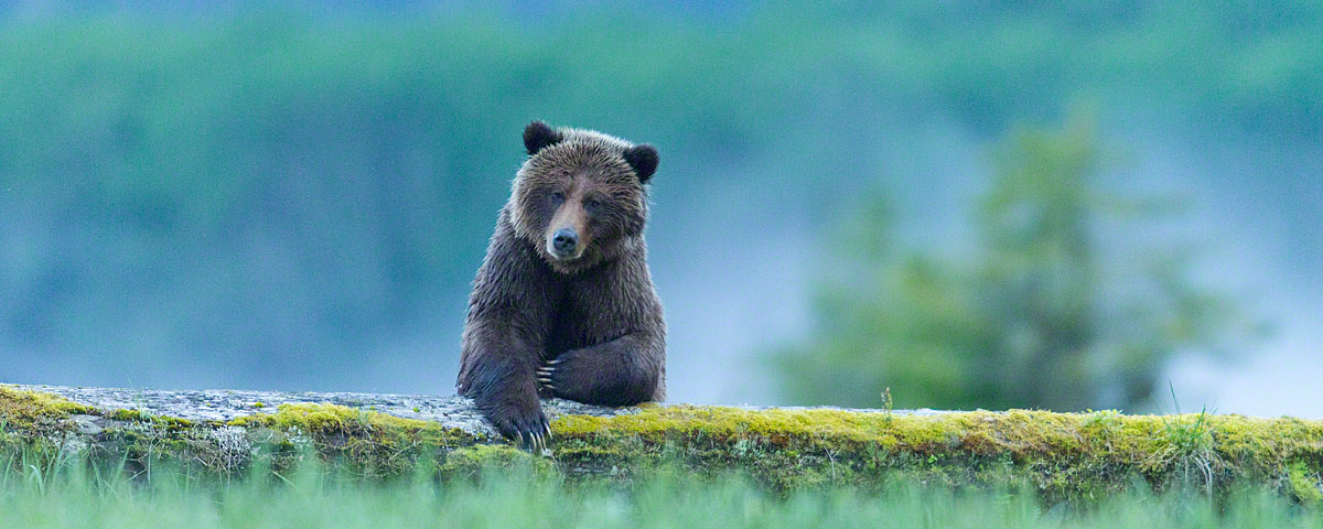 Grizzly bear leaning on a bar